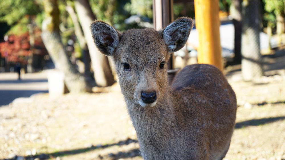 Sikawild in Nara